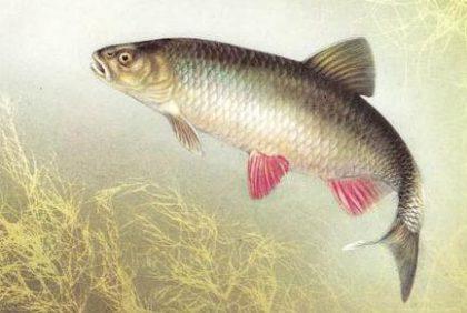 Голавль - сильная и красивая рыба