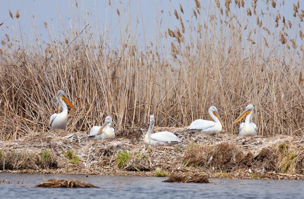 Птицы в тростниковых зарослях дельты Волги
