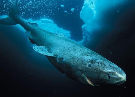 Гренландские акулы живут до 400 лет